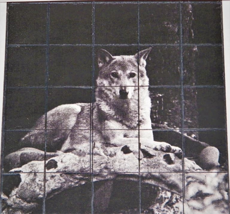Grid drawn over a photo of a wolf
