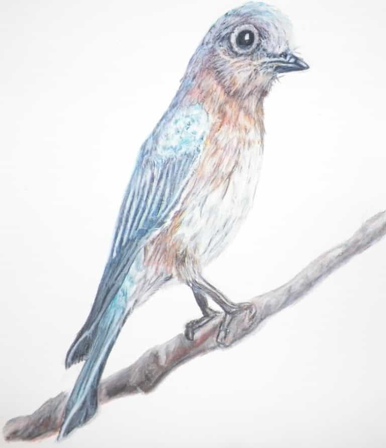 Colored pencil drawing of a bluebird standing on a limb
