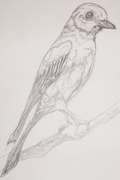 Graphite pencil sketch of a bluebird